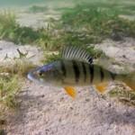 Barschangeln mit Köderfisch